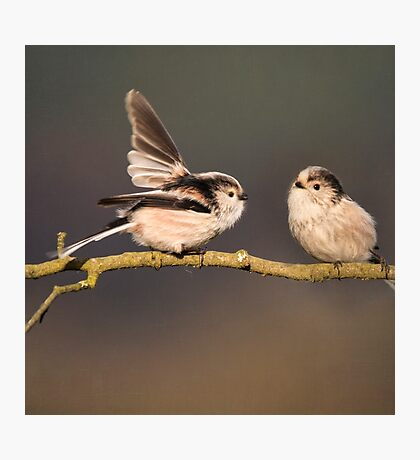 Long-tailed tits Photographic Print