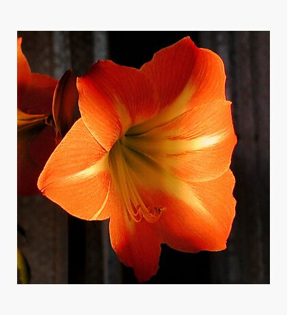 Gold Amaryllis Photographic Print