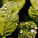 rain on leaves by Savannah Regier