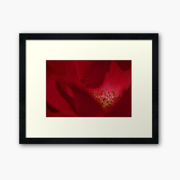 Red Rose in Bloom Framed Art Print