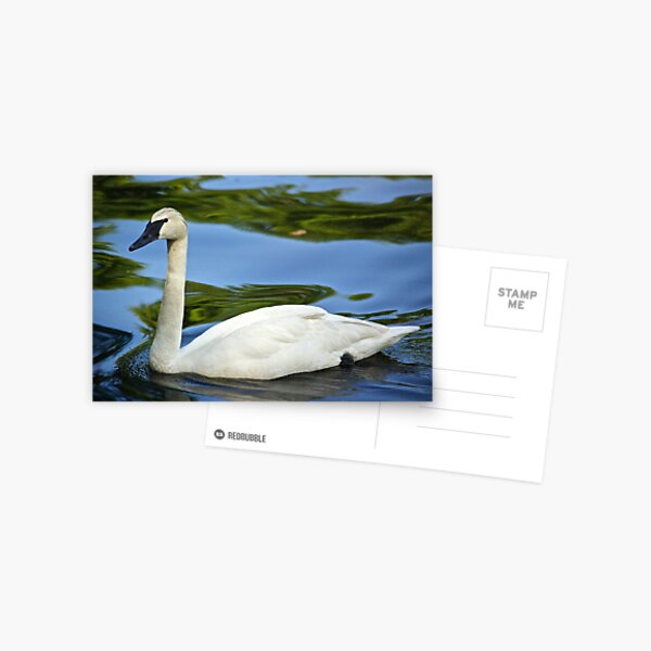 Swan Passing By Postcard