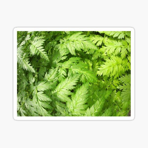 Plant Aegopodium Podagraria Sticker