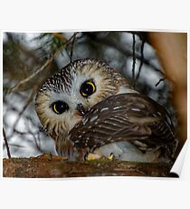 Northern Saw-whet Owl in a Tree Poster