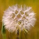 giant dandelion... by Allan  Erickson
