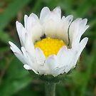 Little Daisy  by MIchelle Thompson