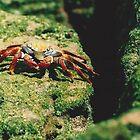 Grapsus Grapsus Crab by Darren Freak