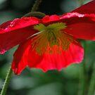 Red Poppy By Lorraine McCarthy by Lozzar Flowers & Art