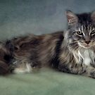 Maine Coon by lucyliu