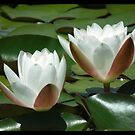 Water lily by Shaun Swanepoel