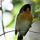 Spectacled Monarch by triciaoshea
