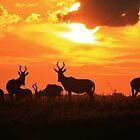 Red Hartebeest - Freedom is Golden - African Wildlife by LivingWild