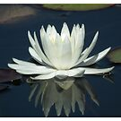 Water lily reflection by Shaun Swanepoel