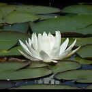 White lily pad by Shaun Swanepoel