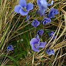 Fringed Gentian by jrier