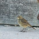 Rock Pipit by Sue Robinson