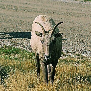 Bighorn Sheep I by DanielleDodds