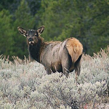 Elk, Grand Teton national park by DanielleDodds