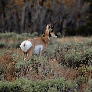 Pronghorn, Grand Teton National Park by DanielleDodds