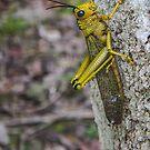 Grass Hopper in Belize by David Galson