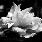 Artic Queen - Clematis 07 - Black and White Photography by PB-SecretGarden