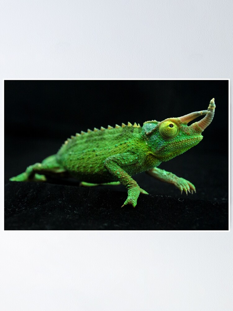 Jackson S Chameleon Poster By Brazzelalan Redbubble