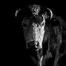 Low Key Cow by George Wheelhouse