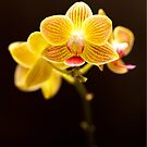 Yellow Orchid by jcmeyer