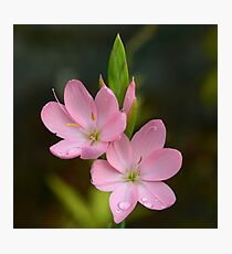 Pink Lilies Photographic Print
