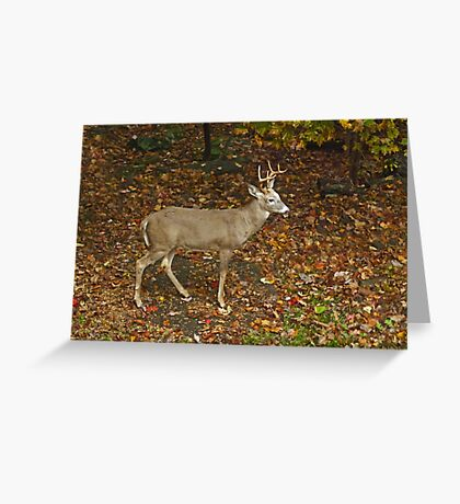 Whitetail Deer - Buck - Odocoileus virginianus - Autumn Greeting Card