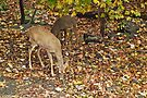 Young Whitetail Deer - Odocoileus virginianus - Autumn by MotherNature