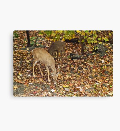 Young Whitetail Deer - Odocoileus virginianus - Autumn Canvas Print