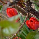 Red tulip in thornbush by MariaNikelova