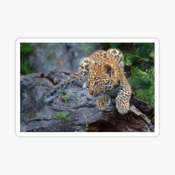 Leopard Cub Hideaway Sticker