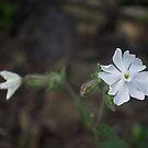 White flower by MariaNikelova