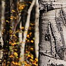 Bear Claw Scratch on Quaking Aspen by Jared Manninen
