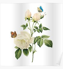 White rose with butterflies Poster