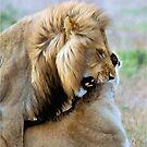 WILDLIFE WAYS - THE LION – Panthera leo by Magriet Meintjes