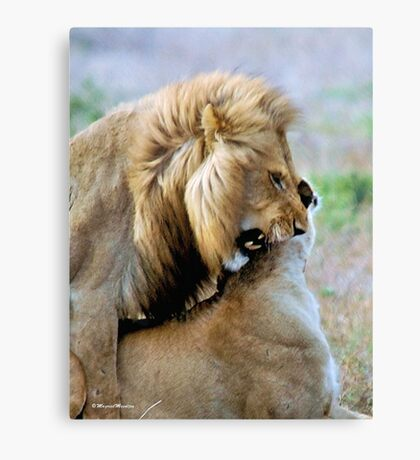 WILDLIFE WAYS - THE LION – Panthera leo Canvas Print