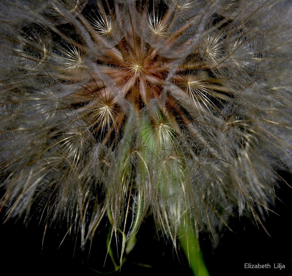 Dandelion  by Elizabeth  Lilja
