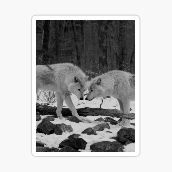 Two Arctic Wolves Sticker
