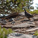Sooty Grouse Playing Coy by Jared Manninen