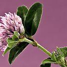 Wild Clover Blossom - Macro  by Sandra Foster