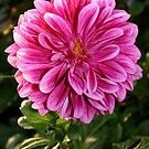 Pink Dahlia Flower by Mike HobsoN