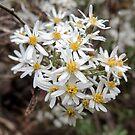 Snow Daisy, Mount Buffalo, Victoria, Australia. by kaysharp