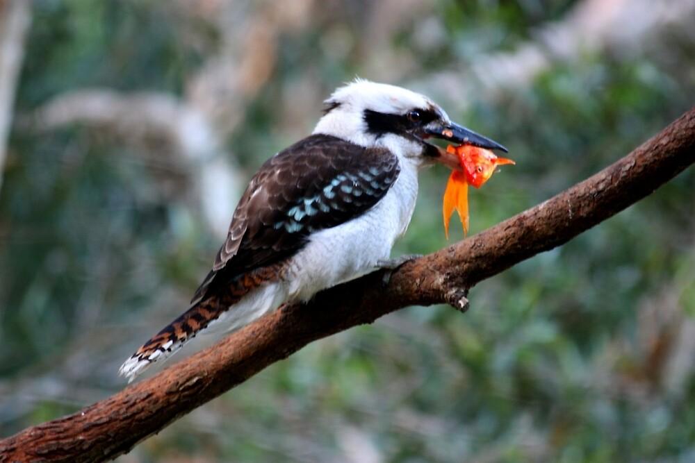 The Kookaburra Thief by byronbackyard