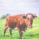 Spring Cow by Angela Lisman-Photography