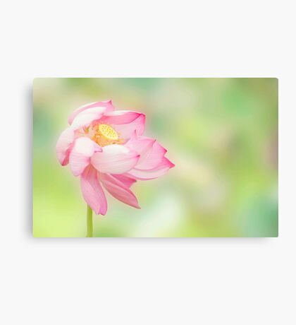 Blowin in the wind - lotus flower Canvas Print