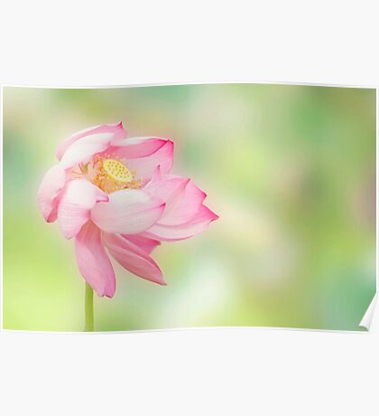 Blowin in the wind - lotus flower Poster