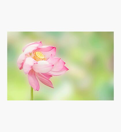 Blowin in the wind - lotus flower Photographic Print