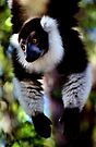 Back & White Ruffed Lemur Just Hanging Around, Madagascar  by Carole-Anne